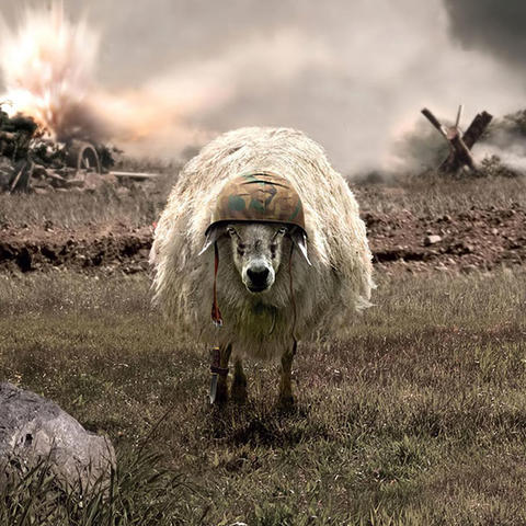 army sheep